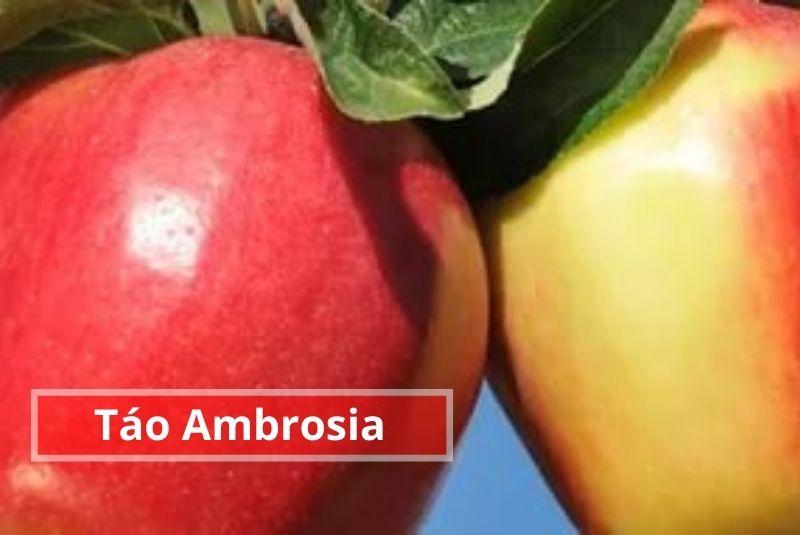 Táo Ambrosia Canada