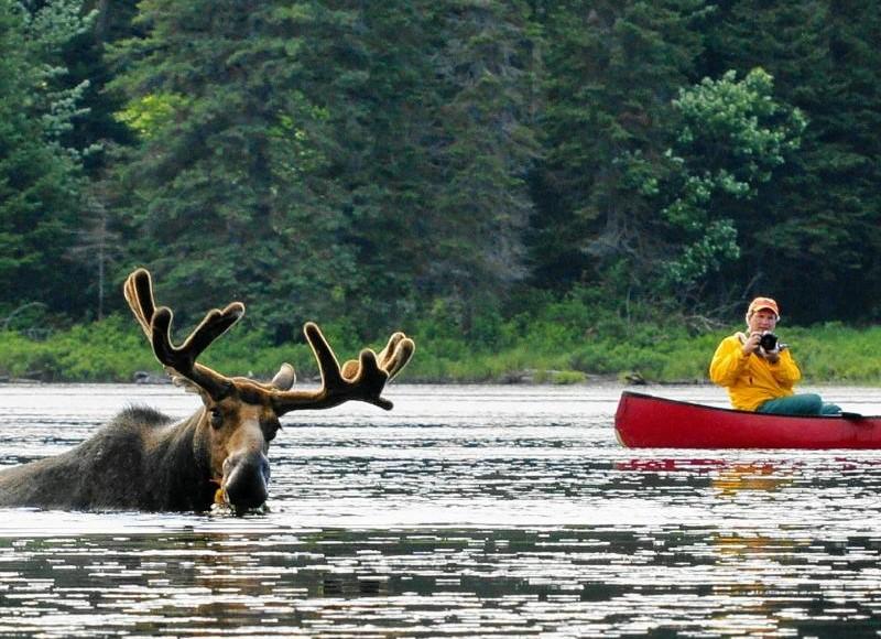 con nai sừng tấm Canada